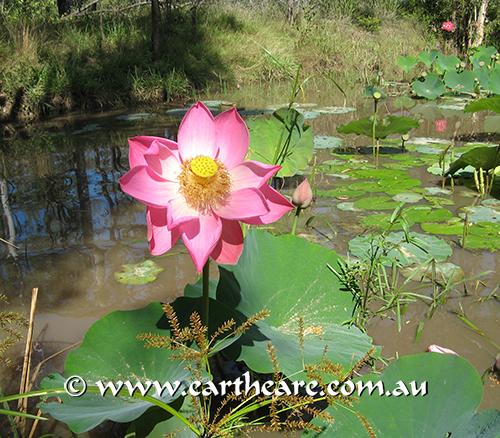 wild-mary-river-lotus